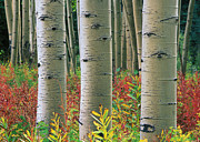 Quaking Aspen Posters - Quaking Aspen Trunks Colorado Poster by Tim Fitzharris