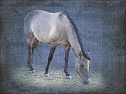 Gray Horse Posters - Quarter Horse in Blue Poster by Betty LaRue