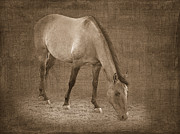 Quarter Horses Digital Art Framed Prints - Quarter Horse in Sepia Framed Print by Betty LaRue
