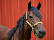 Quarter Horse Print by Sandy Keeton