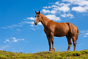 Sorrel Prints - Quarter Horse Print by Semmick Photo