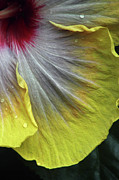 Extreme Floral Images - Quarter Past Hibiscus by Kathy Dahmen