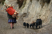 Indigenous Framed Prints - Quechua woman collecting firewood for cooking. Republic of Bolivia. Framed Print by Eric Bauer