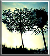 P Greeting Cards Greeting Cards Digital Art Prints - Queen Ann Lace In The Sky Print by Danielle  Parent