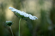 Queen Annes Lace Photos - Queen Anne by Lauri Novak