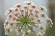 Queen Annes Lace Photos - Queen Annes Lace (daucus Carota) by Bjorn Svensson