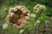 Carota Prints - Queen Annes Lace Gone to Seed Print by Susan Isakson