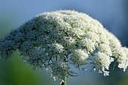 Queen Annes Lace Photos - Queen Annes Lace by Lauri Novak