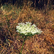 Michelle Photo Prints - Queen Annes Lace on the Beach Print by Michelle Calkins