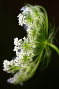 Queen Annes Lace Photos - Queen Annes Lace by Susie Weaver