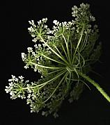 Queen Anne's Lace Print by Tamara Stoneburner