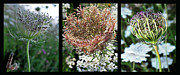 Meadow Flowers Originals - Queen Annes Lace Triptych. by Terence Davis