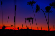 Queen Annes Lace Photos - Queen Annes Sunset by Emily Stauring
