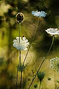 Queen Annes Lace Photos - Queen Annes Waving by Linda McRae