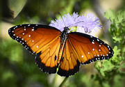 Queen Butterfly Posters - Queen Butterfly on Flower  Poster by Saija  Lehtonen