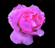 Cornwall Photos - Queen Elizabeth Rose After Heavy Rainfall by DSW Creative Photography