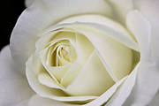 Soft Yellow Prints - Queen Ivory Rose Flower Print by Jennie Marie Schell