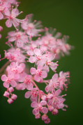 Spirea Posters - Queen Of The Prairie (filipendula Rubra) Poster by Maria Mosolova