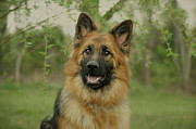 Queena - German Shepherd Print by Sandy Keeton