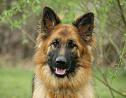 Alsatian Photos - Queena by Sandy Keeton