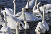 Swans... Photo Metal Prints - Queens Swans Metal Print by Andy Smy