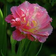 Byron Varvarigos - Queensland Tulip