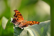 Beauty Mark Art - Question Mark Butterfly by JD Grimes