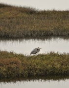 Southern California Photo Originals - Quiet Heron by Matt MacMillan
