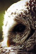 Barred Owl Posters - Quiet Moment Poster by Larysa Luciw