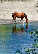 Wild Horse Prints - Quiet Reflection Print by David  Naman