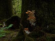 Fungus Pyrography Prints - Quinault Wa Fungus In The Forest Print by Laurie Kidd
