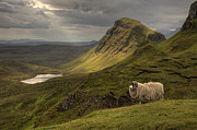 Scottish Blackface Posters - Quiraing Sheep Poster by Wade Aiken