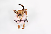 Chihuahua Framed Prints - Quirky Portrait Of A Teacup Chihuahua Framed Print by Brand New Images