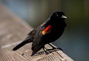 Michelle Wiarda - Quite Curious Red Winged Blackbird