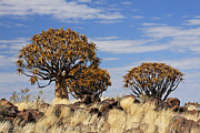 Quiver Prints - Quiver Tree Forest - Namibia Print by Jlr