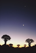 Quiver Prints - Quiver Trees (aloe Dichotoma) Beneath Moon, Dusk Print by Gallo Images-Lanz von Horsten