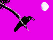Moons Digital Art - Quoth The Raven Nevermore . Magenta by Wingsdomain Art and Photography
