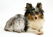 Lop Prints - Rabbit And Dog Print by Jane Burton