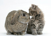 Domesticated Animal Framed Prints - Rabbit And Kitten Framed Print by Mark Taylor