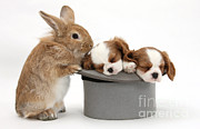 Domesticated Animal Framed Prints - Rabbit And Spaniel Pups Framed Print by Mark Taylor