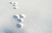 Rabbit Footprints In The Snow 2 Print by Jack Dagley