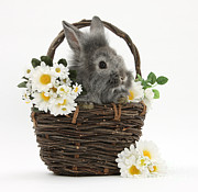 Flower Basket Framed Prints - Rabbit In A Basket With Flowers Framed Print by Mark Taylor