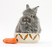 Silver Bowl Posters - Rabbit In A Food Bowl With Carrot Poster by Mark Taylor