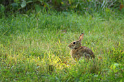Hare Prints - Rabbit in the Clearing Print by Bill Pevlor