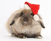 Father Christmas Prints - Rabbit Wearing Christmas Hat Print by Mark Taylor