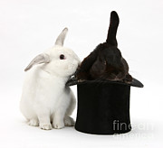 Magic Hat Photos - Rabbits And Top Hat by Mark Taylor