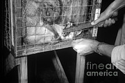 Rabid Fox, 1958 Print by Science Source