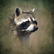 Raccoons Framed Prints - Raccoon 1 Framed Print by Betty LaRue