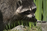 Raccoon 1 Print by Sharon  Talson