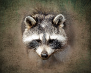 Raccoons Framed Prints - Raccoon 2 Framed Print by Betty LaRue